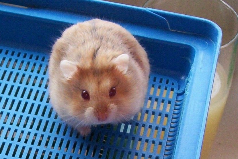 white dwarf hamster with red eyes - photo #20